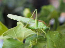 a green grasshopper (Orthoptera Caelifera) insect animal