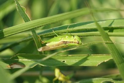 A green grasshopper (Schistocerca gregaria / Caelifera) is foraging on wild green grass.