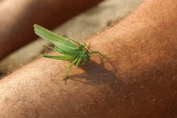 A green grasshopper standing on a man's hairy leg. Small green insect. Camouflage predator animal interacting with human. Close-up of wildlife animal.