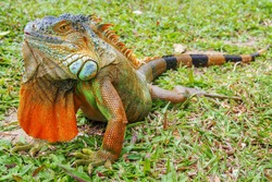 A green iguana (Iguana iguana), also known as the American iguana, laying on a bench with an orange body and bright blue head and face. Lizard on a table with green tropical leaves in background