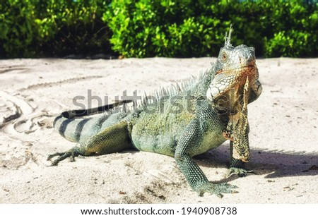 A Green Iguana (Iguana iguana), in Curacao Сток-фото ©