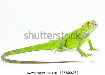 A green iguana (Iguana iguana) is sunbathing. Zdjęcia stock ©