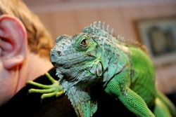 A green iguana sits on a human shoulder, close up. Exotic animal