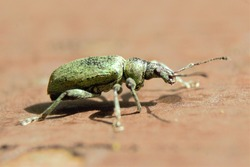 A Green Leaf Weevil (Phyllobius maculicornis) standing on a fence.