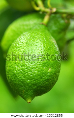A green lemon hangs from the tree.