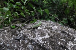 A green lizard is standing on the rock. The lizard has the head turn from the camera. The green trees and leaves behind. Reptile on the rock. Dark tones.