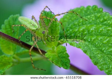 A green lynx spider sitting on a leaf waiting for prey