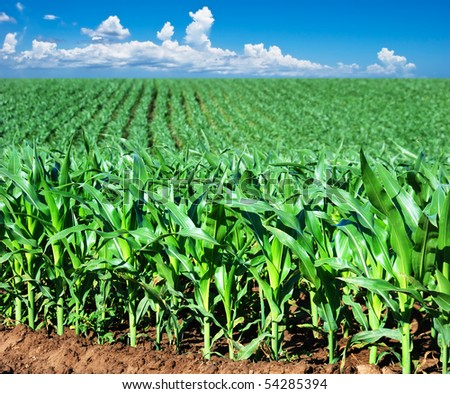 a Green maize field