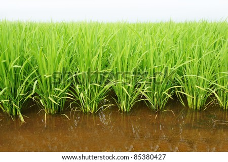 A green paddy field and nature water