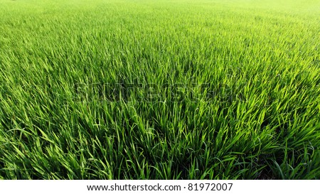 A green paddy field in India.