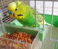 A green parrot pecks grains