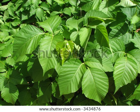 a green patch of poison ivy (Toxicodendron radicans)