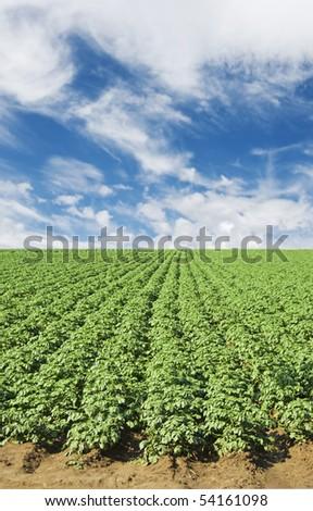 a Green potato field