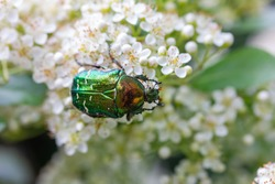 a green rose chafer on white cherry blossoms