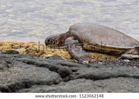 A green sea turtle coming out of the water to rest on the lava rock shoreline in Hawaii