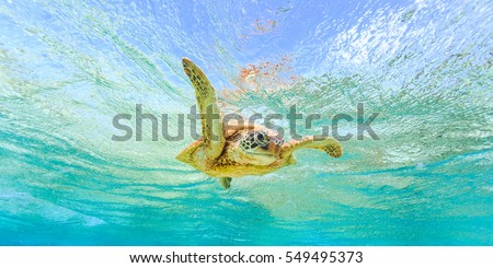 "A Green Sea Turtle giving a ""high-five"" while swimming in crystal clear waters over coral reef #549495373"