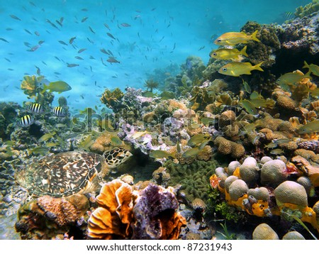 A green sea turtle in a thriving coral reef with shoal of tropical fish, Caribbean sea