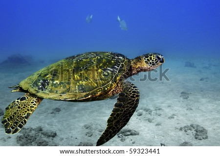 A green sea turtle swimming along the ocean bottom