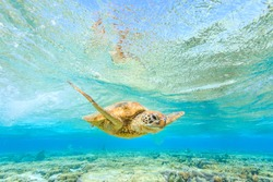 A Green Sea Turtle swimming in a shallow lagoon over coral reef in pristine water