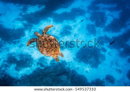 A Green Sea Turtle swimming just below the surface in crystal clear water under a blue sky  #549537310