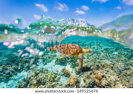 A Green Sea Turtle swimming over shallow reef with a clear sky and bubbles in the water #549525676