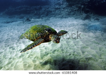 A green sea turtle swimming over the sandy bottom of the South Pacific.