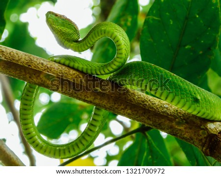 Stock Photo A green snake hides in the tree branch. It is ready to hunt. Its color is almost identical with the surroundings. In the back green tree leaves. Snake has a great camouflage. Poisonous snake.