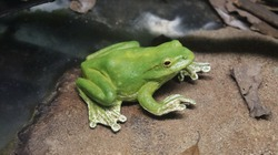 A green toad sitting near the pond.