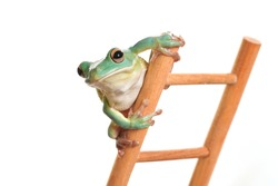 a green tree frog as a weather frog on the top of a ladder, studio shot, white background