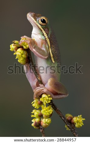 A green tree frog is perched high on a branch of budding flowers. - stock photo