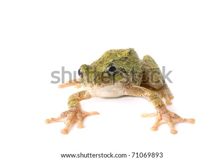tree frog jumping. tree frog ready to jump.