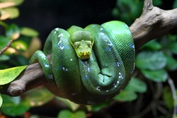 A Green Tree Python (Morelia viridis), coiled on a dead tree. The Green Tree Python is an arboreal snake.