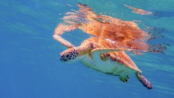 A Green Turtle at the Surface Near the Frederiksted Pier in St Croix of the US Virgin Islands
