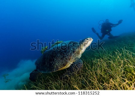 A Green Turtle kicks up a cloud of silt while a SCUBA diver watches on a dark, murky afternoon