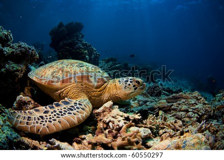 A green turtle sit still on hard coral ruin. - stock photo