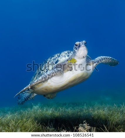 A Green Turtle with a small fish sheltering under its flipper swims over seagrass in the shallow waters of the Gulf of Aqaba.  Egyptian Red Sea