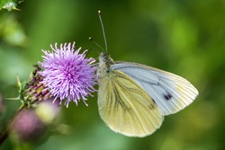 A green-veined white butterfly on a thistle.