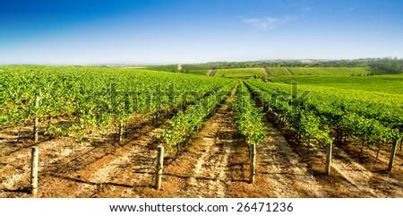 A green vineyard in Summer