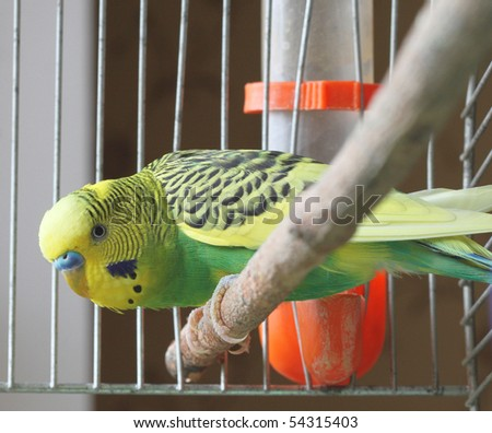 A green wavy parrot sits in a cage