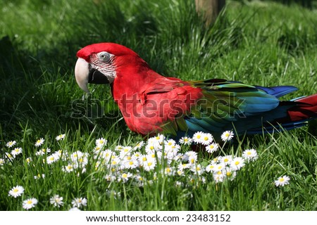 Shutterstock A green winged macaw on the ground on grass with daisies.  Latin name Ara chloropterus.