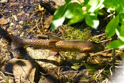 A Greenback Cutthroat trout in a clear river in the Rocky Mountain National Park. Also the state fish of Colorado.