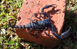 A greenish -black scorpion came out of its hiding place and climbed onto a brick.