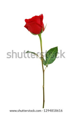 A greeting red rose on white