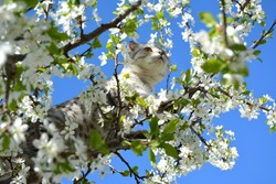 A grey cat of the British lop-ear (scottish-fold) breed stands on a flowering plum tree and looks into the sky. Pet. The spring theme.