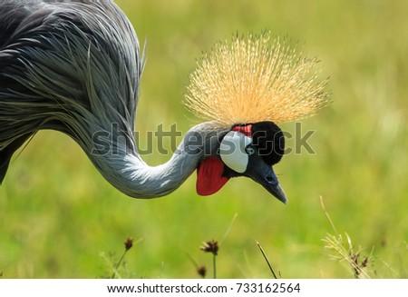 Shutterstock A Grey-crowned crane