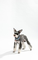 A grey dog with a collar