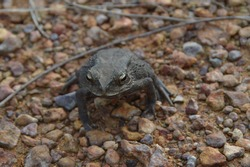 a grey frog on the ground