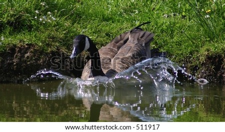 A grey goose jumping into the clear cold water of a lake