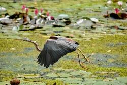 A Grey heron - An Asian wetland bird