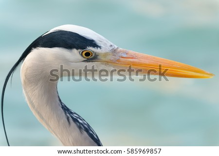 Shutterstock A grey heron has a long yellow beak. Adults have a white head and neck with a broad black stripet. They are living in temperate Europe, Asia and parts of Africa.